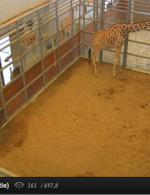 Live Giraffe Birth