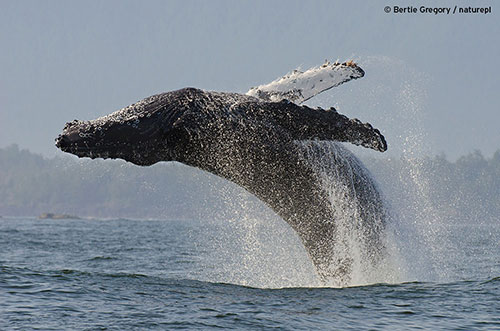 big-blue-live-humpback-whale