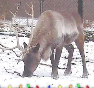 reindeer cam on Animal Planet